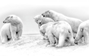 Denali Back Country and Polar Bears.  A Perfect Combination.