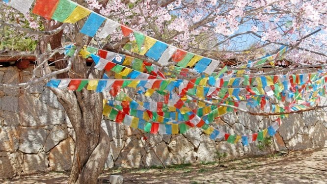 cherry blossoms in the Himalayas